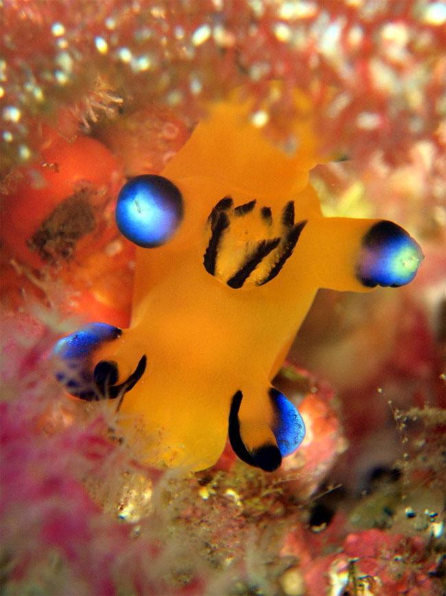 lumaca-mare-sembra-pikachu-thecacera-pacifica-15