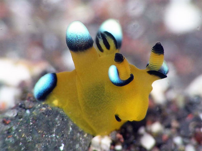 lumaca-mare-sembra-pikachu-thecacera-pacifica-16