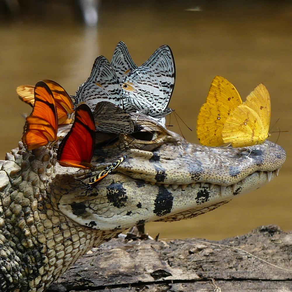 caimano-coccodrillo-farfalle-testa-bevono-lacrime-1
