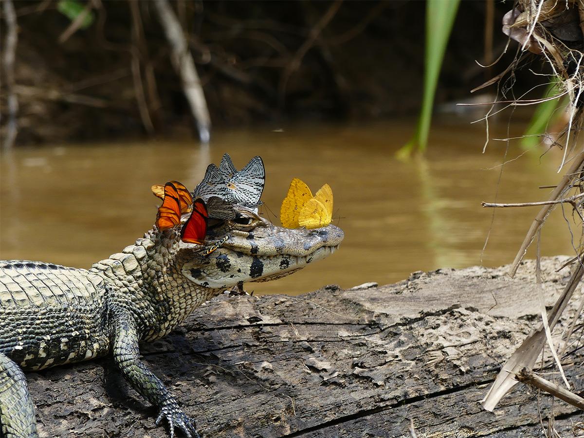 caimano-coccodrillo-farfalle-testa-bevono-lacrime-2