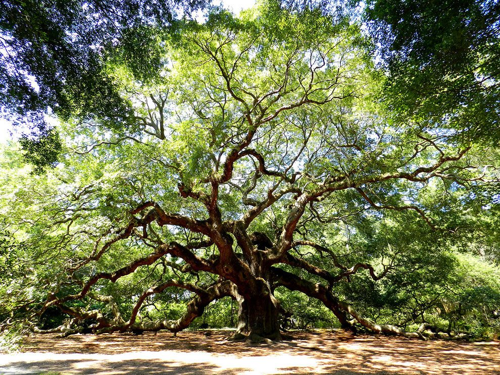 angel-oak-quercia-enorme-charleston-carolina-03