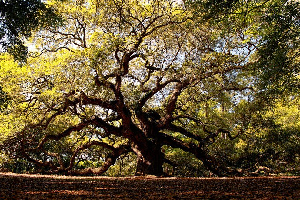 angel-oak-quercia-enorme-charleston-carolina-04