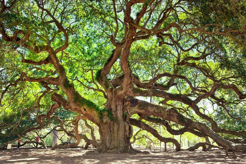 angel-oak-quercia-enorme-charleston-carolina-05