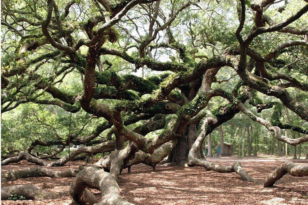 angel-oak-quercia-enorme-charleston-carolina-06