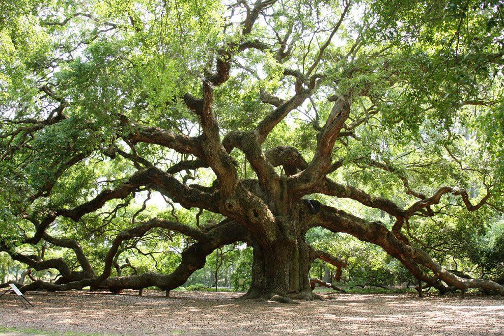 angel-oak-quercia-enorme-charleston-carolina-07