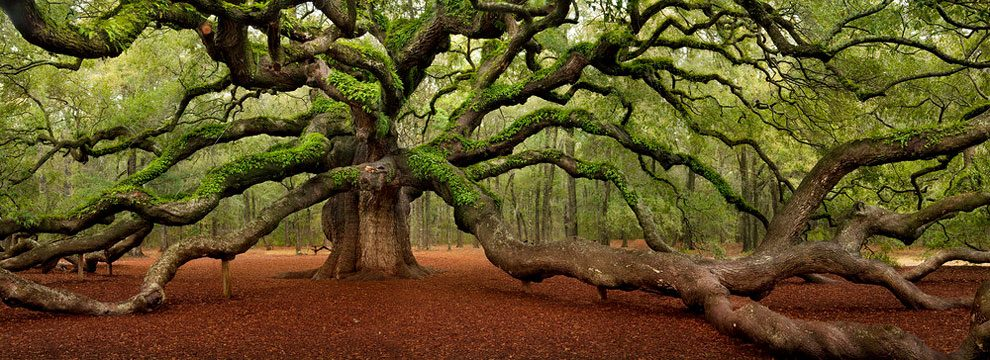 angel-oak-quercia-enorme-charleston-carolina-08