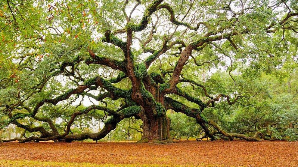 angel-oak-quercia-enorme-charleston-carolina-09