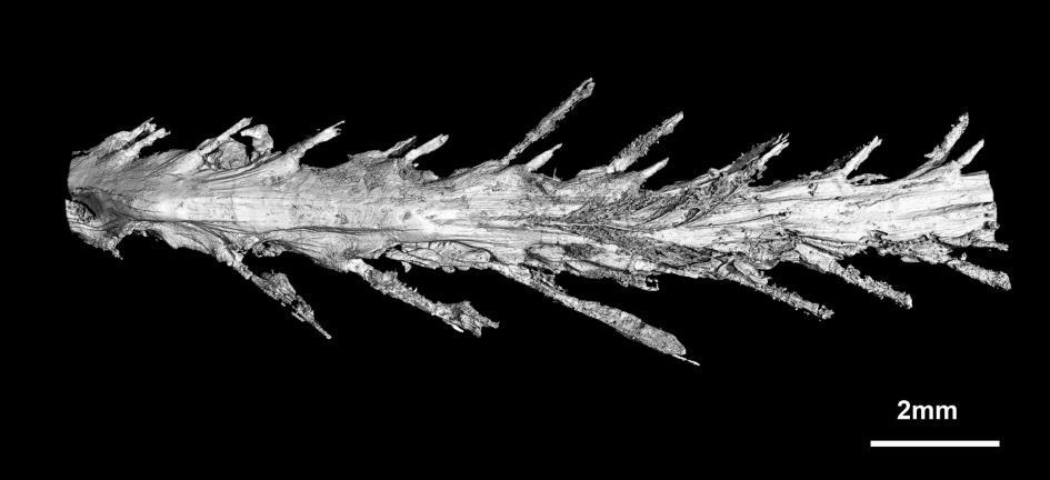 scoperta-coda-dinosauro-piumato-fossile-ambra-lida-xing-23