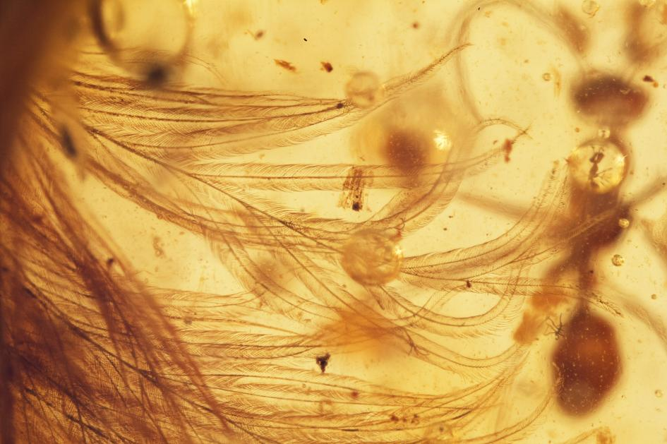 scoperta-coda-dinosauro-piumato-fossile-ambra-lida-xing-24