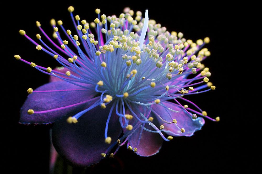 foto-piante-fiori-fluorescenza-ultravioletta-indotta-craig-burrows-01