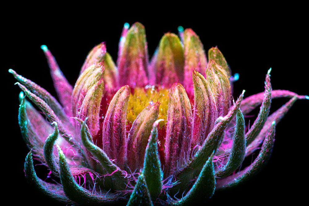 foto-piante-fiori-fluorescenza-ultravioletta-indotta-craig-burrows-02