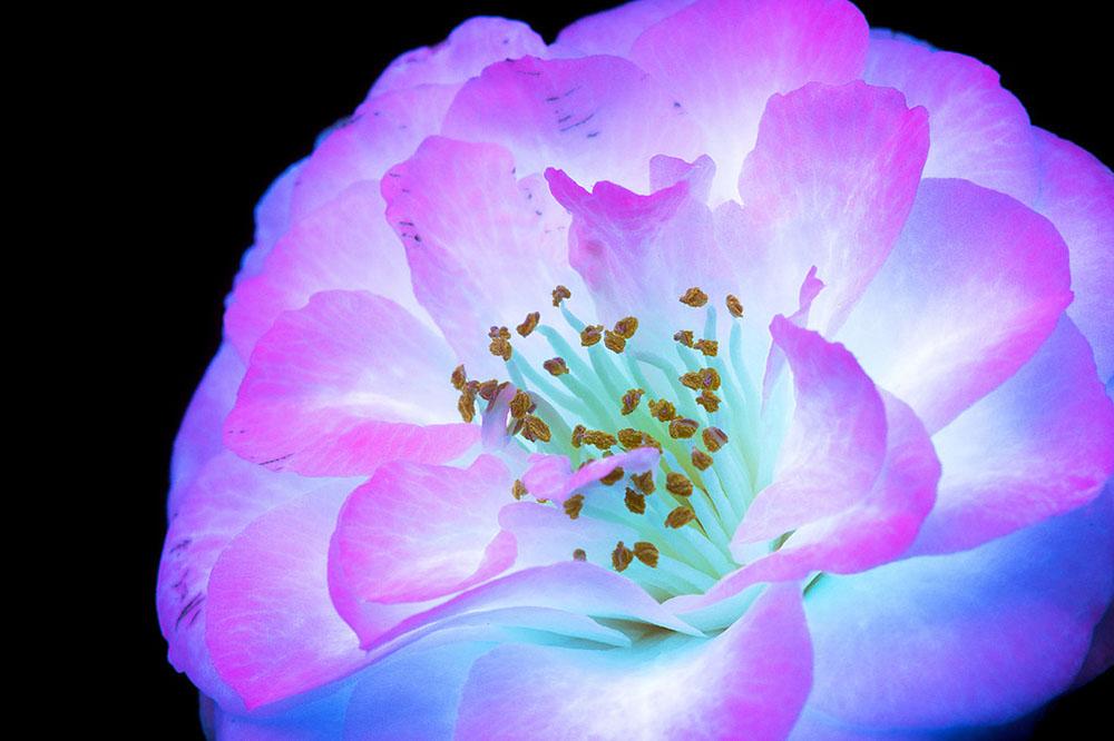foto-piante-fiori-fluorescenza-ultravioletta-indotta-craig-burrows-03