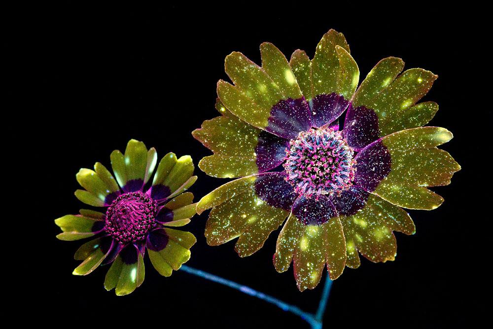 foto-piante-fiori-fluorescenza-ultravioletta-indotta-craig-burrows-04