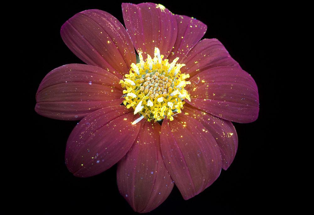 foto-piante-fiori-fluorescenza-ultravioletta-indotta-craig-burrows-05