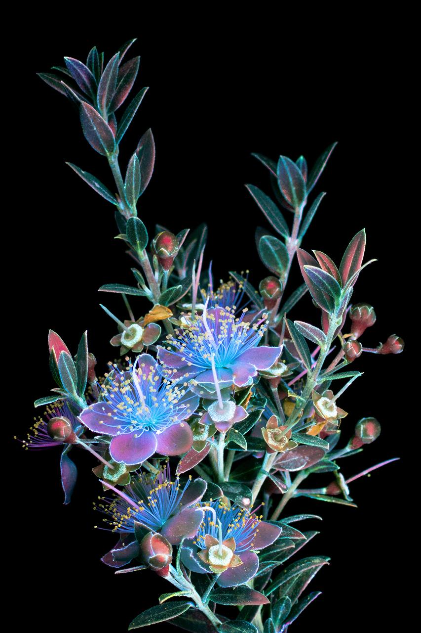 foto-piante-fiori-fluorescenza-ultravioletta-indotta-craig-burrows-09