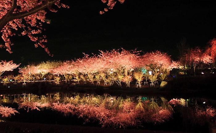 kawazu-fiorita-fiori-ciliegio-giappone-01