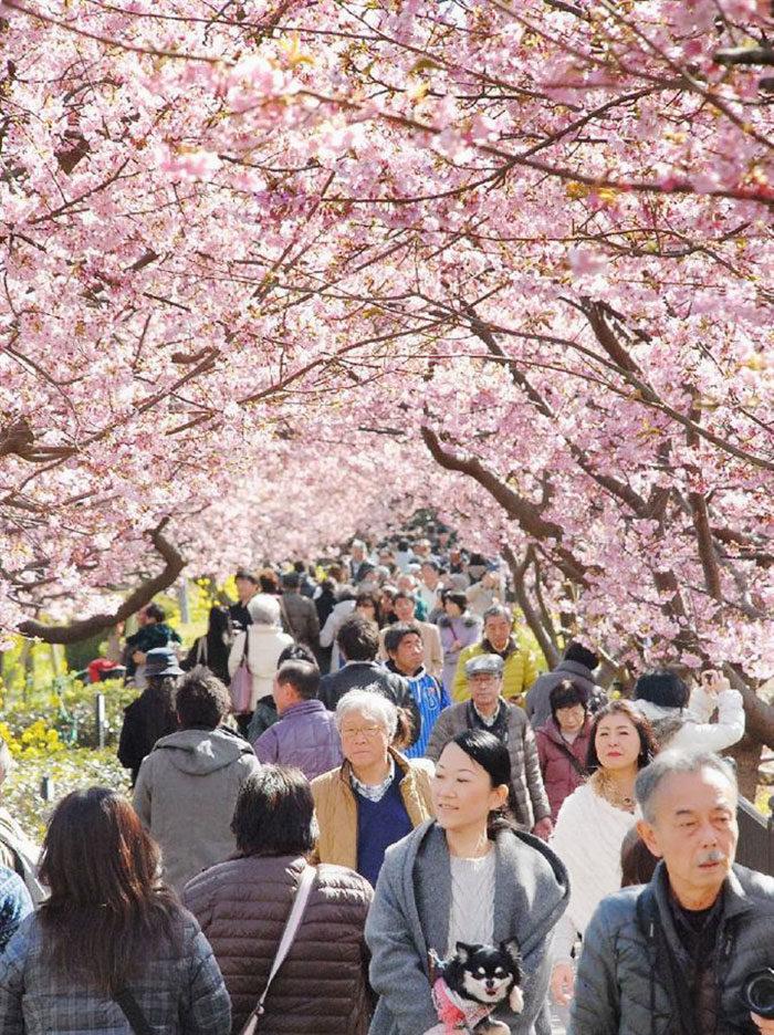 kawazu-fiorita-fiori-ciliegio-giappone-03