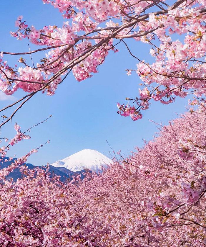 kawazu-fiorita-fiori-ciliegio-giappone-05