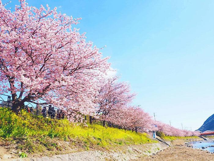 kawazu-fiorita-fiori-ciliegio-giappone-06