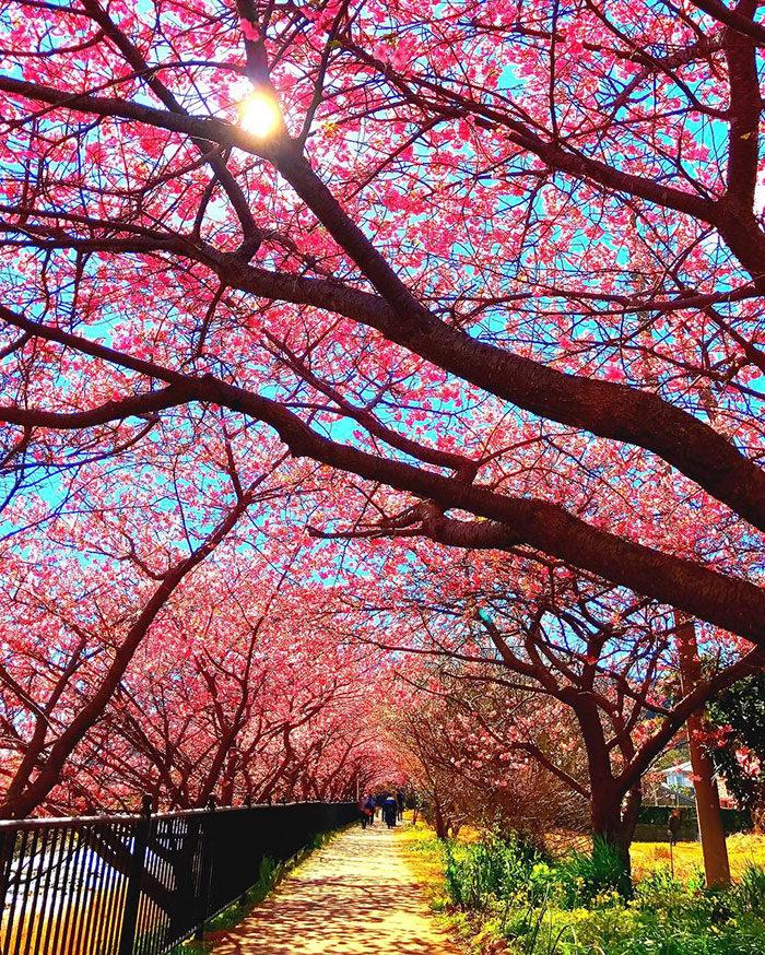 kawazu-fiorita-fiori-ciliegio-giappone-07