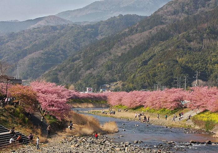 kawazu-fiorita-fiori-ciliegio-giappone-08