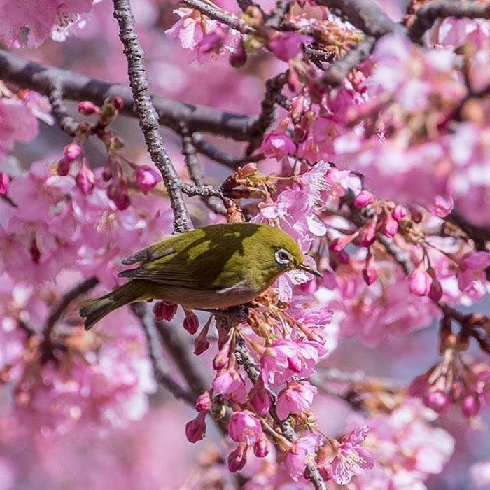 kawazu-fiorita-fiori-ciliegio-giappone-09