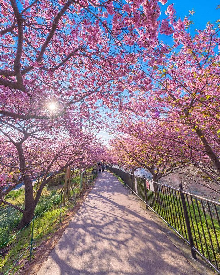 kawazu-fiorita-fiori-ciliegio-giappone-10