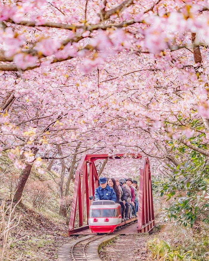 kawazu-fiorita-fiori-ciliegio-giappone-11