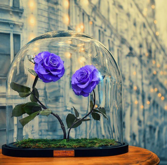rose-eterne-bella-bestia-3-anni-forever-rose-15