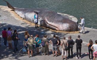 Una balena spiaggiata sulle rive del fiume Senna a Parigi, per sensibilizzare sull'ambiente