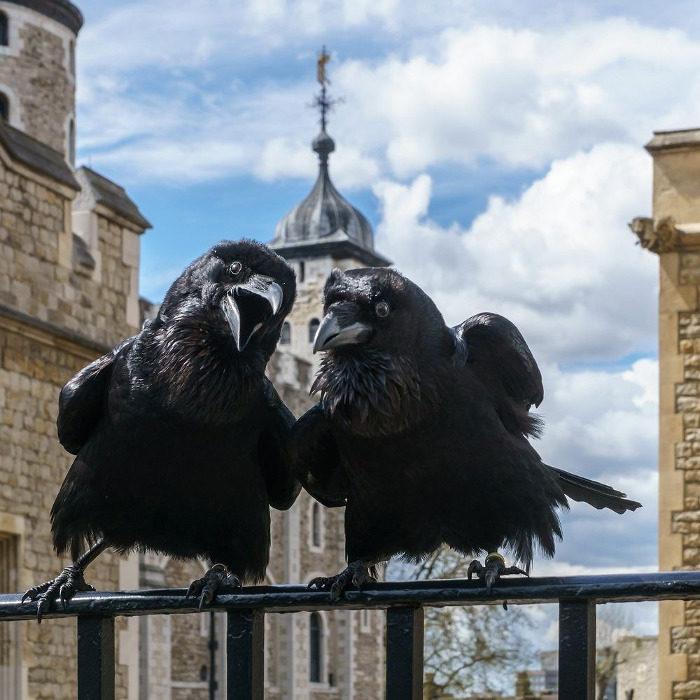 I bellissimi Corvi della Torre di Londra, i protettori della Corona