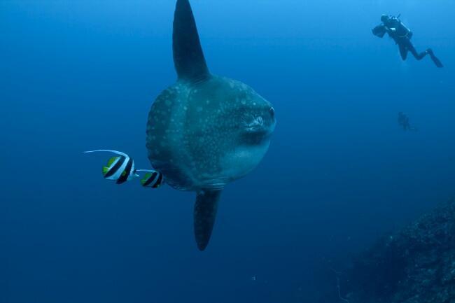 Il pesce più grande del mondo