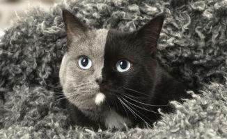 Un gatto con la faccia perfettamente divisa a metà sta facendo impazzire internet