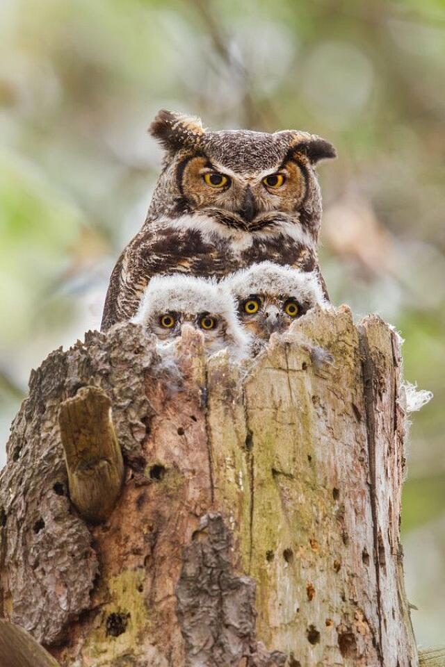 Foto Gufi E Altri Uccelli Rapaci Notturni
