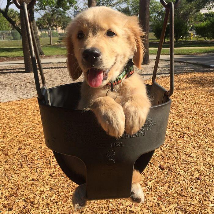 Foto Divertenti Cani Labrador Golden Retriever