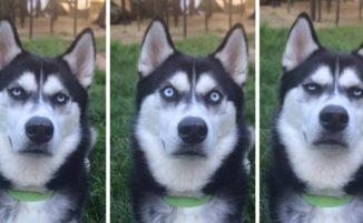 50 foto esilaranti dimostrano che gli Husky sono i cani più strani di sempre