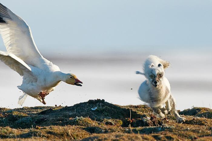 Foto Volpe Artica Isola Di Wrangel Sergey Gorshkov