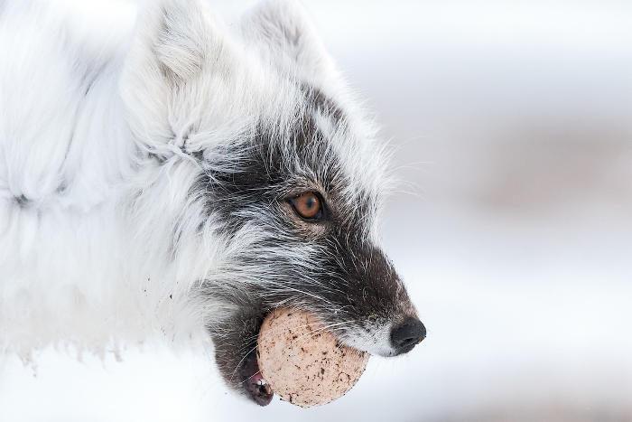 Fotografo cattura la forza e la tenacia della volpe artica