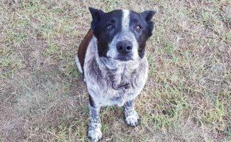 Cane semi cieco e sordo salva una bambina di 3 anni scomparsa