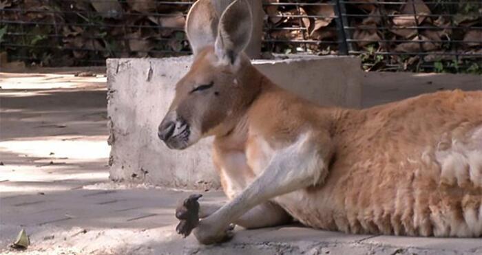 Canguro ucciso a mattoni in uno zoo della Cina