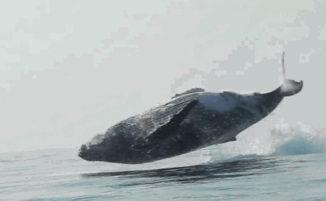 Video raro cattura una balena da 40 tonnellate che salta fuori dall'acqua