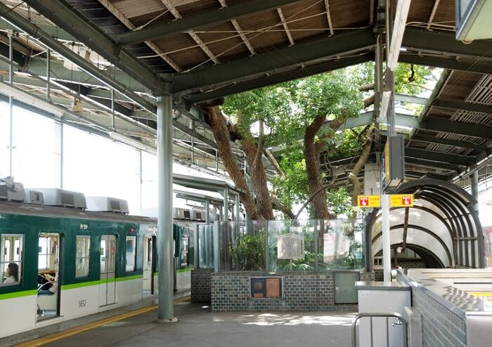 Stazione Di Kayashima Albero Canfora Secolare Giappone