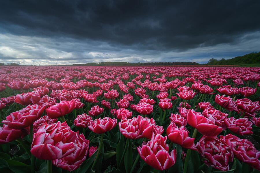 Fioritura Tulipani Paesi Bassi Albert Dros