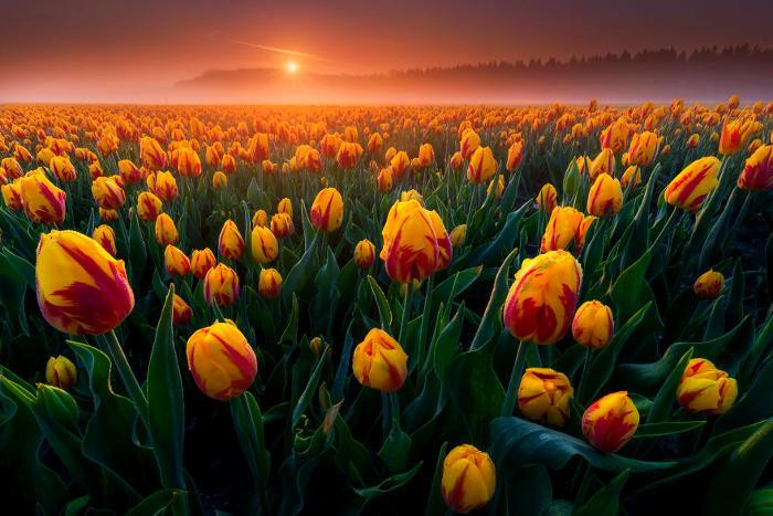 La fioritura dei tulipani mostra tutta la bellezza della natura