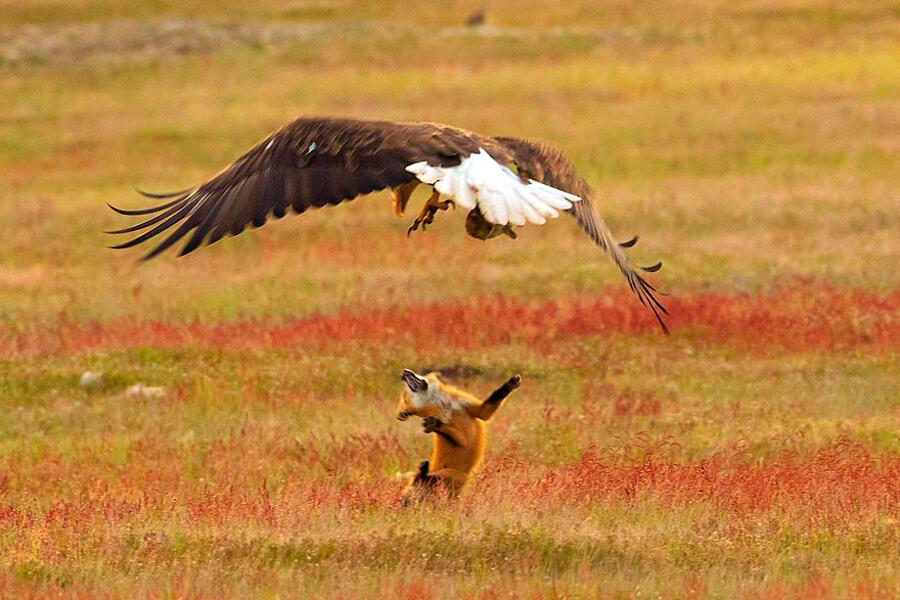 Aquila calva ruba coniglio a una volpe rossa