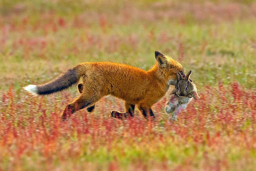 Spazio  Ècru - Pagina 6 Fotografia-naturalistica-aquila-volpe-coniglio-lotta-07