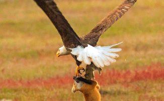 Fotografo cattura un'aquila e una volpe che si contengono un coniglio ed è incredibile
