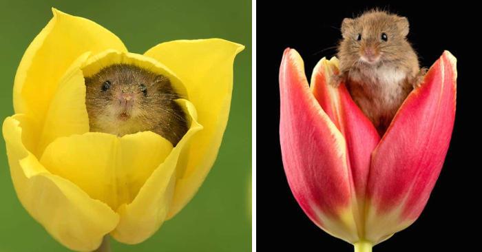 Fotografo cattura teneri topolini che giocano con i tulipani