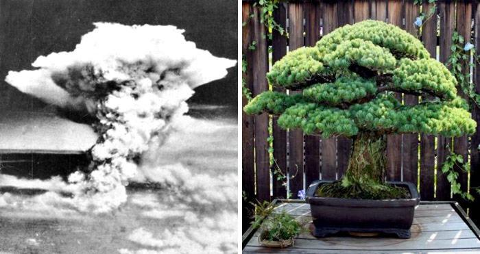 Un bonsai di 392 anni che nemmeno il bombardamento di Hiroshima è riuscito ad uccidere