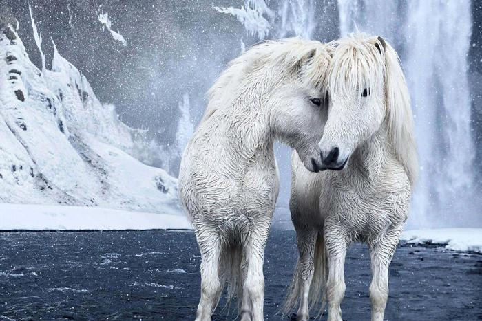Immagini da favola di cavalli che vivono tra i paesaggi innevati dell'Islanda